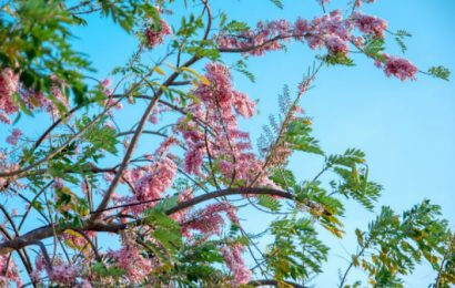 Hoa đỗ mai và keo lá tràm nở rực rỡ ở Phan Thiết